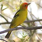 Western Tanager by PatGoltz