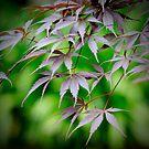 Japanese Maple by Kym Howard