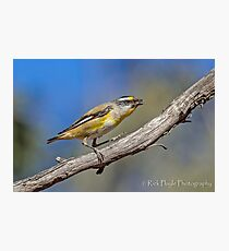 Striated Pardalote-2 Photographic Print