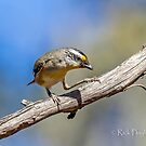 Striated pardalote -3 by Rick Playle