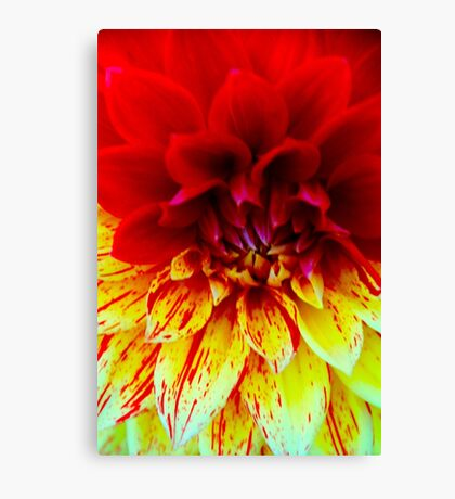 Two Toned Dahlia Canvas Print
