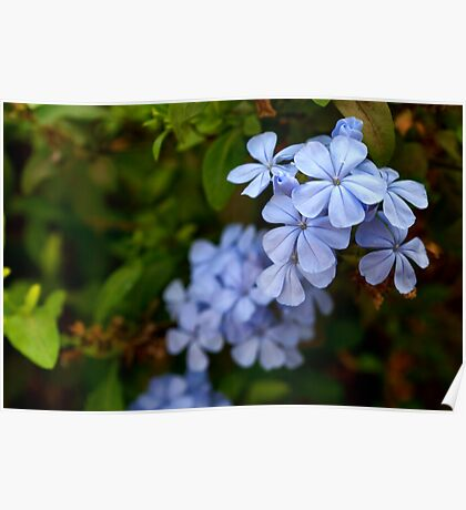 Blossom in the blue Poster