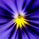 Bursting with blue pansy by Kelly Nowak