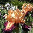 Peach and Purple Bearded Iris by Paula Betz