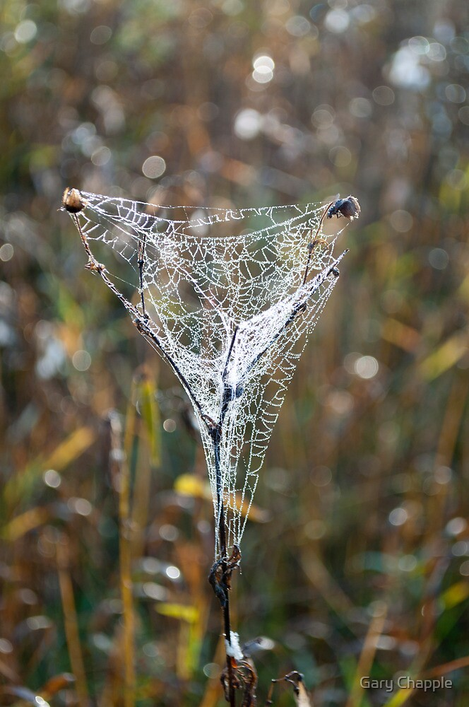 Spider Web Covered in Dew Droplets by Gary Chapple