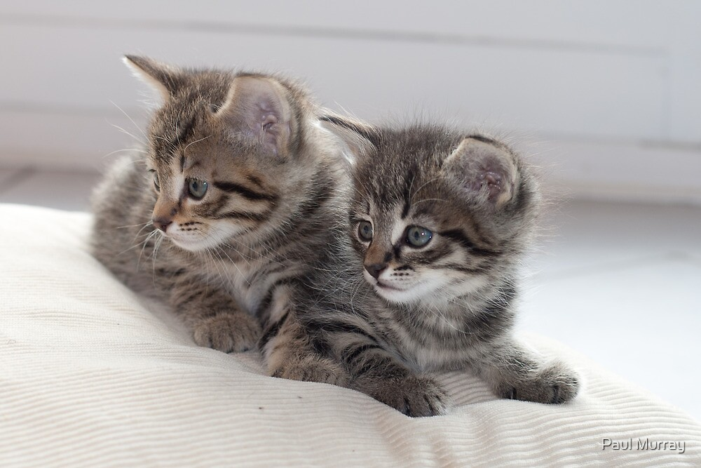 Sweet Kittens by Paul Murray