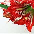 Red Lily by Joy Rensch