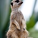 Watchful Meerkat by Steven Cliff