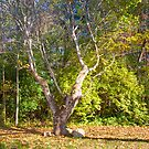 Sodalis Nature Park Forked Tree by David Owens