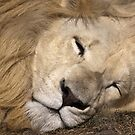 Sleeping lion by Anna Phillips