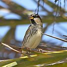 Spanish Sparrow by dilouise