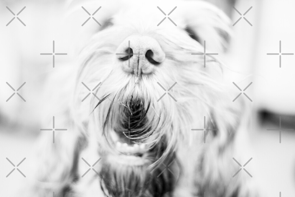 Orange and White Italian Spinone Dog Head Shot by heidiannemorris