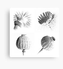 Poppy Heads Collection 1234 Canvas Print