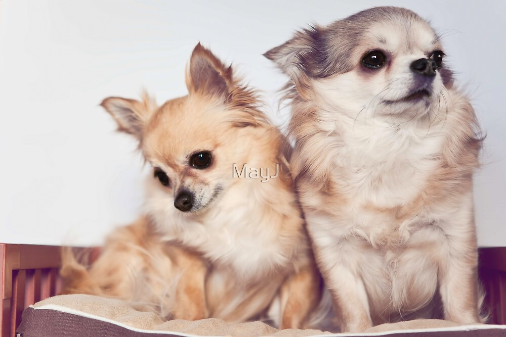 Two cute chihuahuas by MayJ