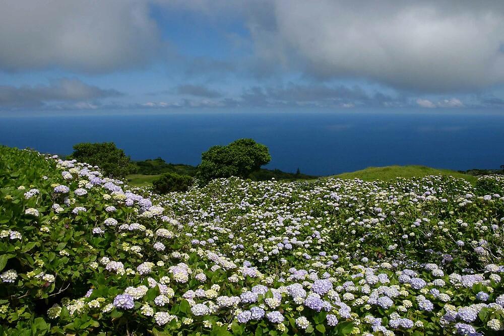 Hydrangeas in Horta, Azores by benjy