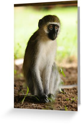 The Stare - Kenyan Monkey by Rhys Herbert