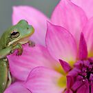 Green tree frog + pink dahlia by Mundy Hackett