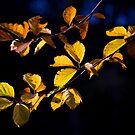Gold, Au, 79 ..Autumn by SteveMG
