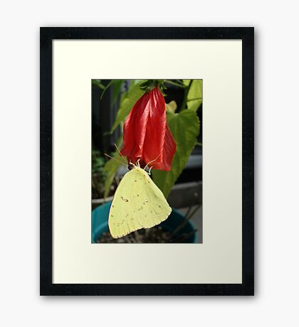 SULPHUR ON LATE HIBISCUS Framed Print