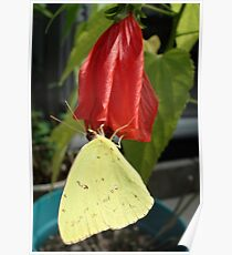 SULPHUR ON LATE HIBISCUS Poster