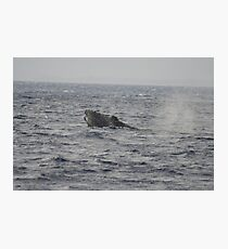 Humpback Whale Inflated Head Lunge Photographic Print