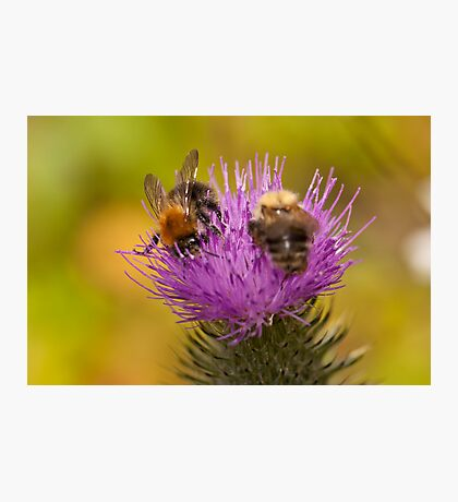 Busy Bees Photographic Print