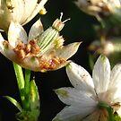 last few flowers  by millymuso