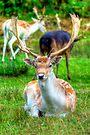 Fallow Deer 6.0 by Yhun Suarez