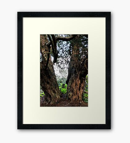 The Yew Tree Framed Print