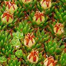 Tasmanian Cushion Plant in flower by tasadam