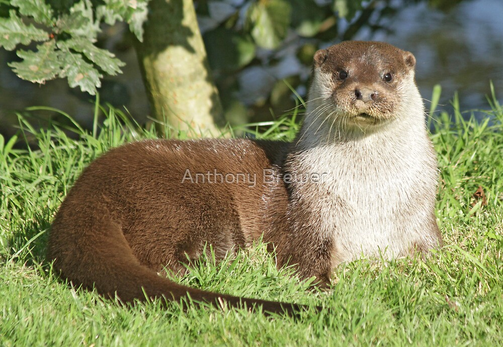 Did somebody call for an otter? by Anthony Brewer