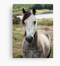 Connemara Pony  Canvas Print