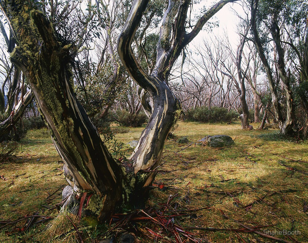 Bogong High Plains by ShaneBooth