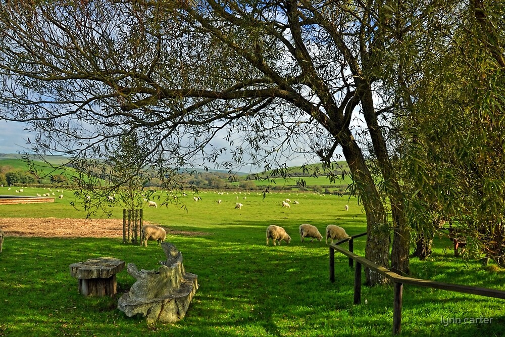 Sheep in the fields  at Abbotsbury Dorset UK by lynn carter