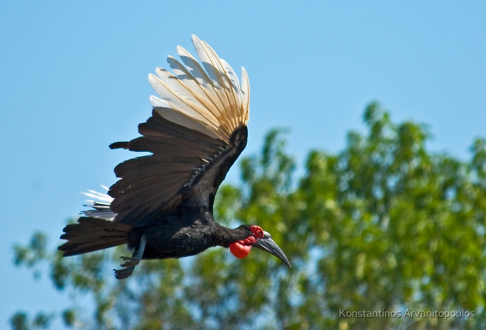 Southern Ground Hornbill on flight by Konstantinos Arvanitopoulos