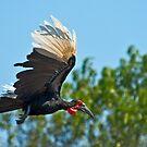Southern Ground Hornbill on flight by Konstantinos Arvanitopoulos