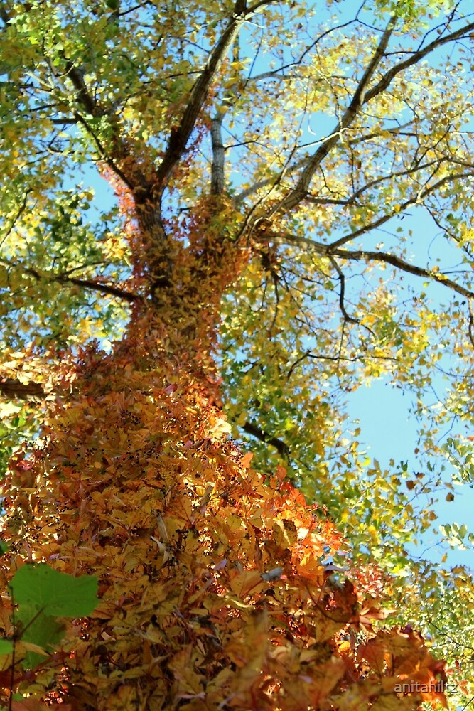 Fall Color Changing Vine On Tree by anitahiltz