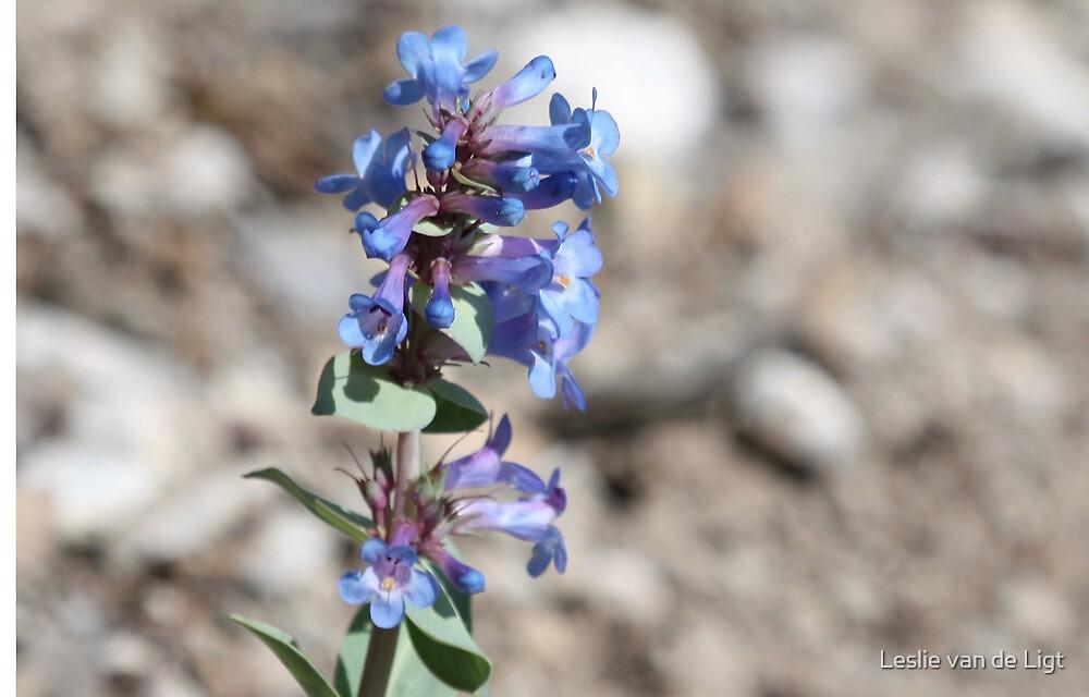 Shining Beardtongue (Penstermon nitidus) by Leslie van de Ligt