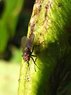 fly on a runner bean by millymuso