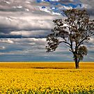 Canola tree sunset by Victor Pugatschew