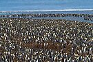 Penguins Galore, St Andrew's Bay, South Georgia by Coreena Vieth