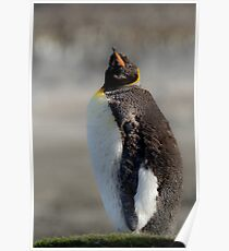 King Penguin moulting, St Andrews Bay, South Georgia Poster