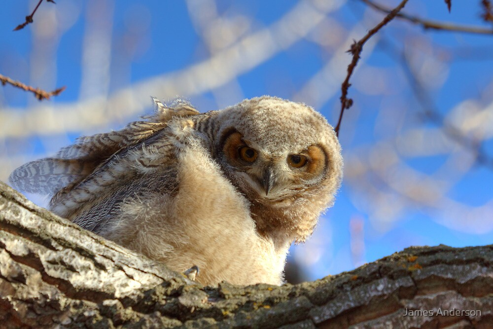 Great Horned Owlet by James Anderson