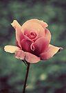 Simply A Rose.... by Carol Knudsen