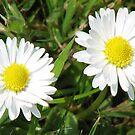 Daisy, Daisy...!! by BlueMoonRose