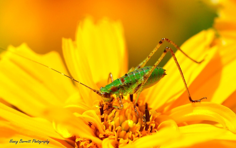 Young Katydid by Nancy Barrett