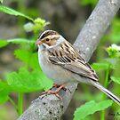 Clay-Coloured Sparrow by Nancy Barrett