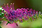 Grevillea acanthifolia by Extraordinary Light