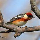Bay-breasted Warbler by Nancy Barrett
