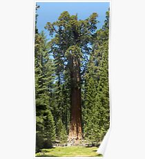 The Largest Tree in the World - GigaPan Poster